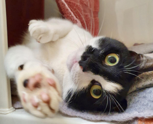 rescue cat, black and white cat laying day, paws outstretched